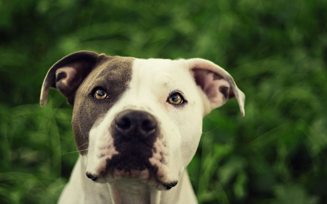 Handsome American Pit Bull Terrier. Pedigree and mongrel ...