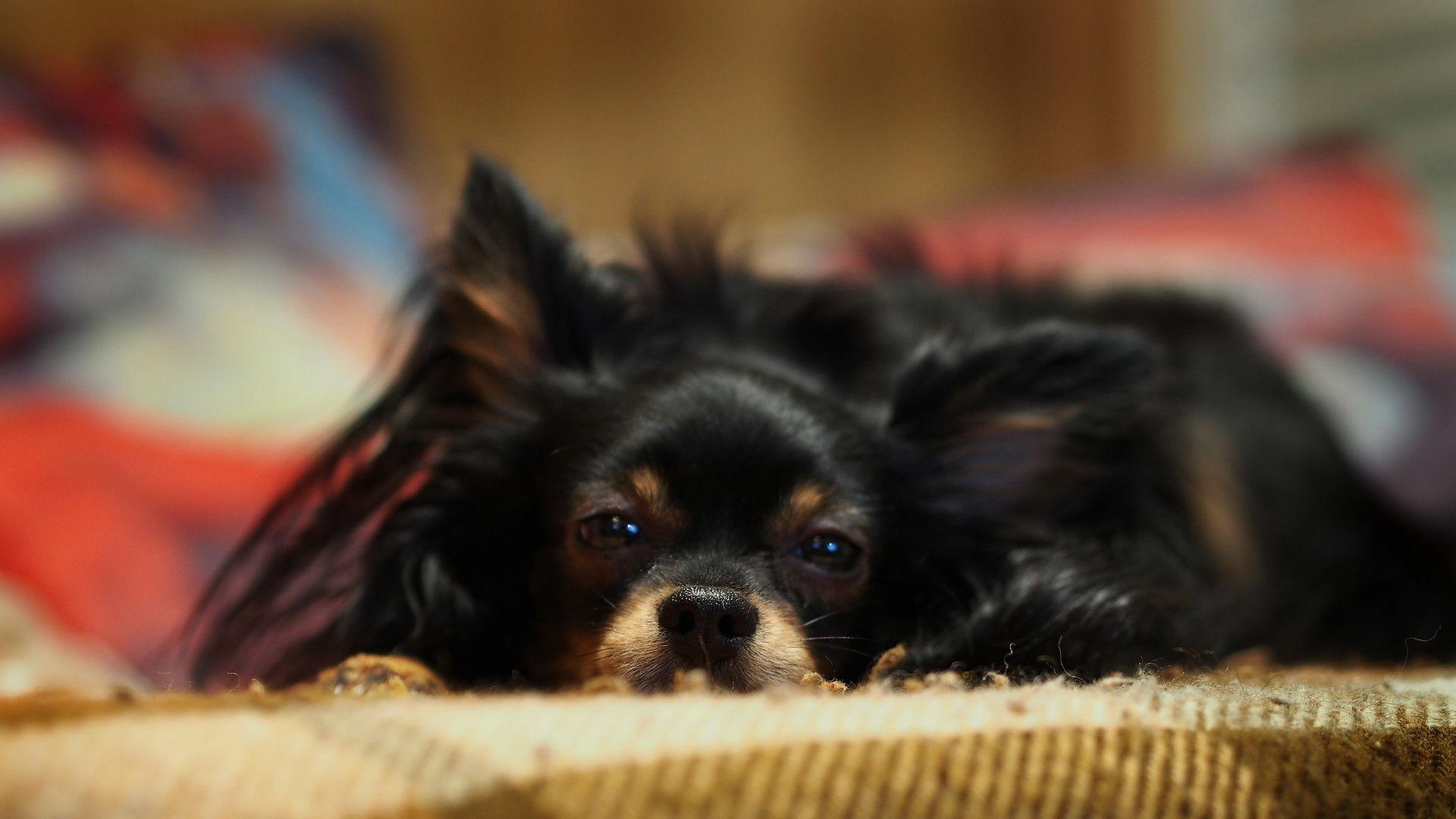 Razze di cani di piccola taglia con foto e nomi foto di for Piccoli piani colonica con foto
