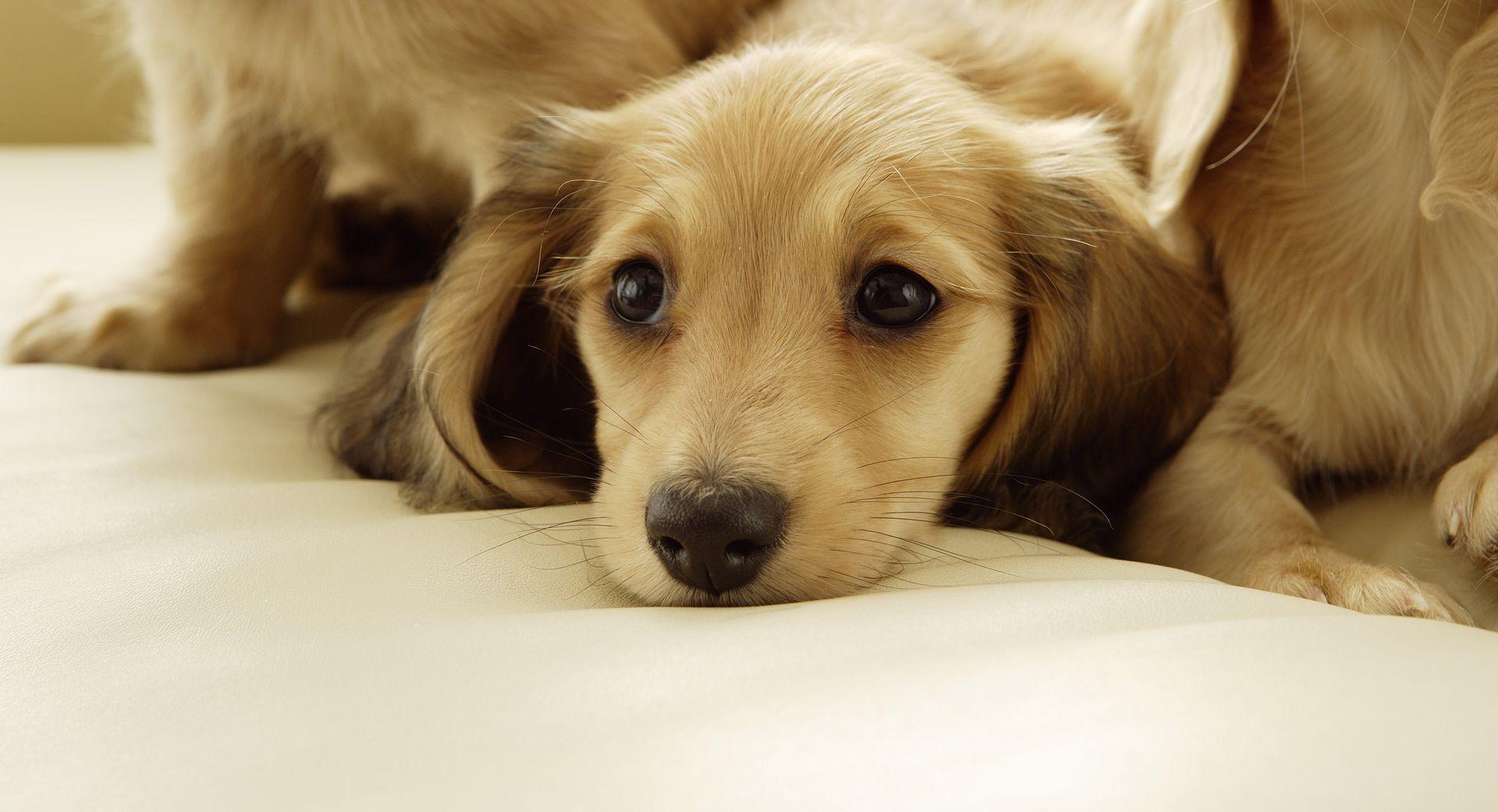 teckel jolie poil long fonds d 39 cran les plus belles races de chien pour votre bureau. Black Bedroom Furniture Sets. Home Design Ideas